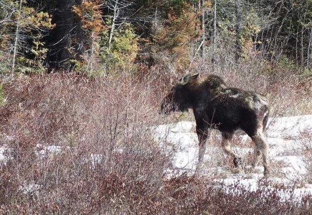 moose in algonquin park_ontario_spring2014 - 9