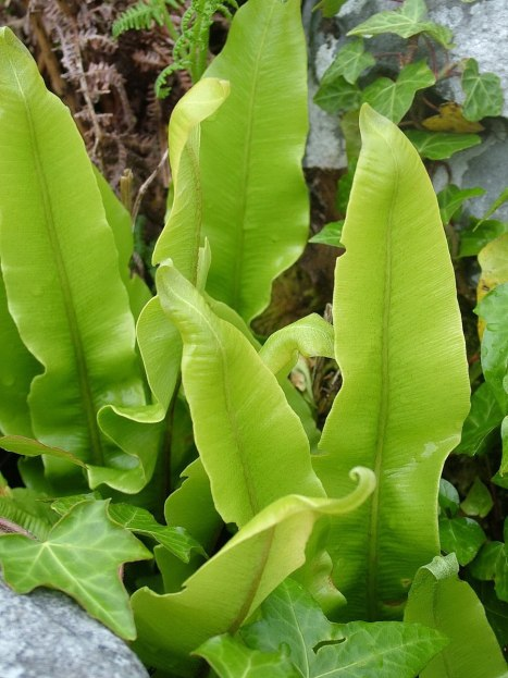 ox tongue ferns - burren national park - ireland