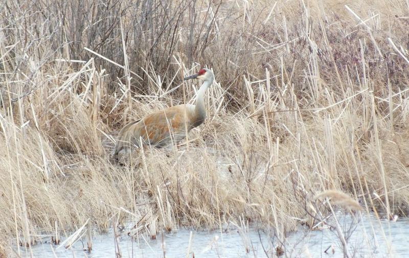 An image of a Sandhill crane along the shoreline at Grass Lake near Cambridge, Ontario, Canada.