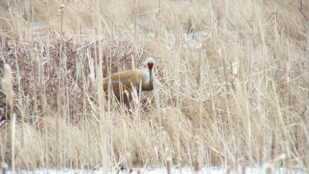 An image of a Sandhill crane among grass at Grass Lake near Cambridge, Ontario, Canada.