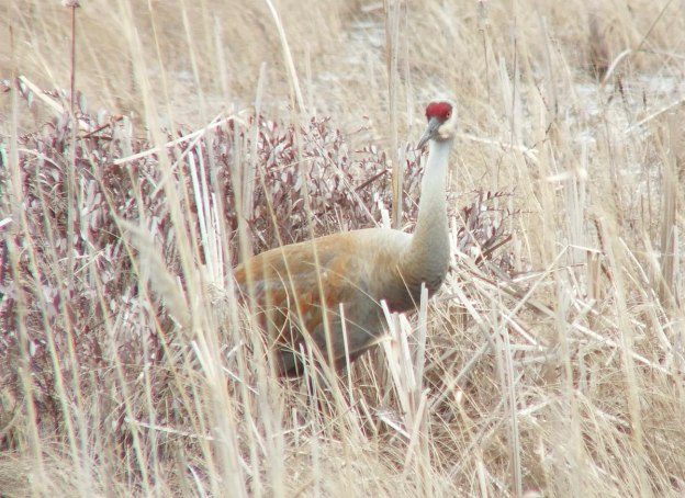 An image of a Sandhill crane standing among grass at Grass Lake near Cambridge, Ontario, Canada.