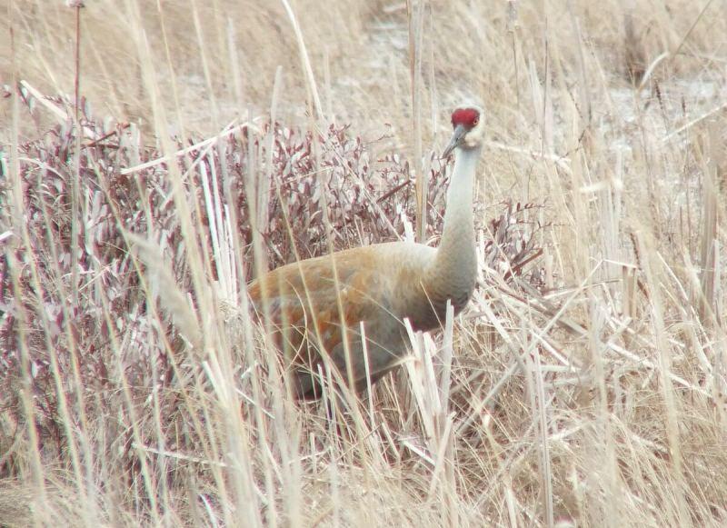 An image of a Sandhill crane standing among grass at Grass Lake near Cambridge, Ontario, Canada.