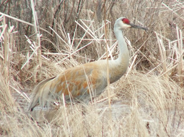 An image of a Sandhill crane at Grass Lake near Cambridge, Ontario, Canada.