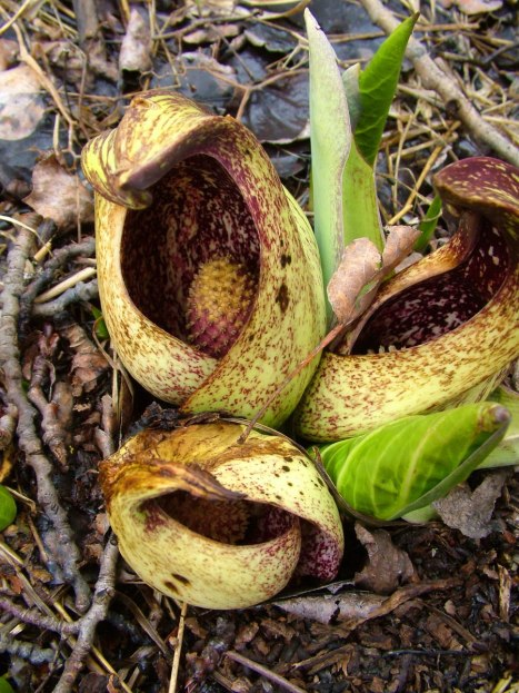 skunk cabbage_dickson Conservation area_ontario 2