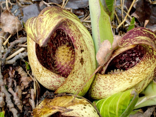skunk cabbage_dickson Conservation area_ontario 3