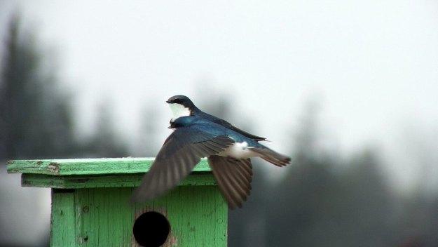 tree swallows near grass lake_cambridge_ontario 2