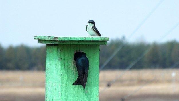 tree swallows near grass lake_cambridge_ontario 6