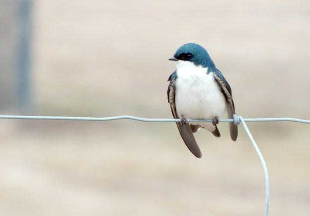 tree swallows near grass lake_cambridge_ontario 8