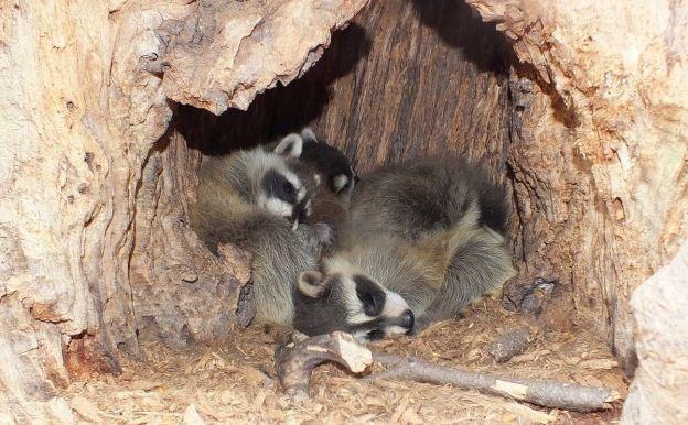 how to build a raccoon den