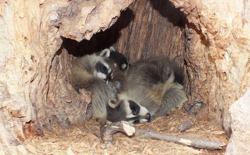 4 raccoon babies inside toronto tree - ontario