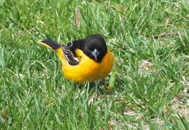 Baltimore Oriole male on grass - Rosetta McClain Gardens - toronto 3