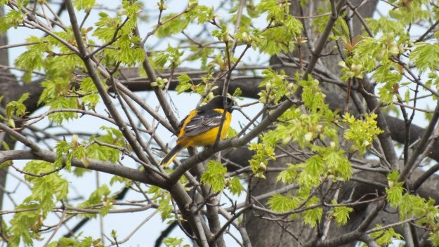 Baltimore Oriole male on tree - Rosetta McClain Gardens - toronto