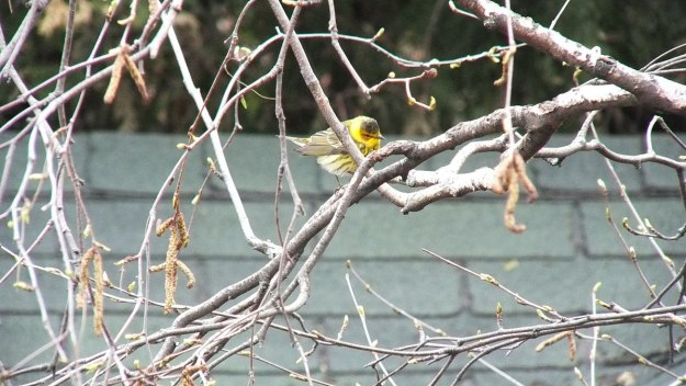 Cape May Warbler in bush - toronto 4