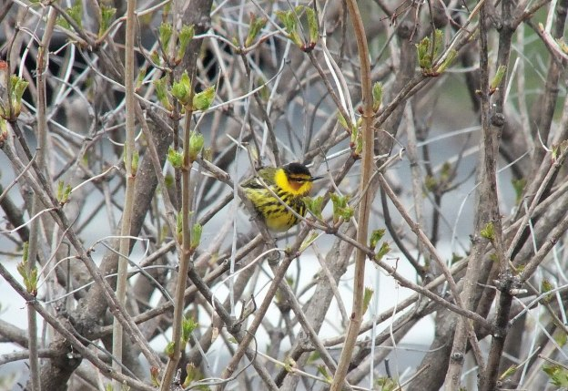 Cape May Warbler in bush - toronto