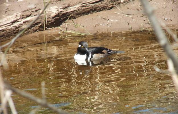Hooded Merganser on grindstone creek - hamilton - ontario