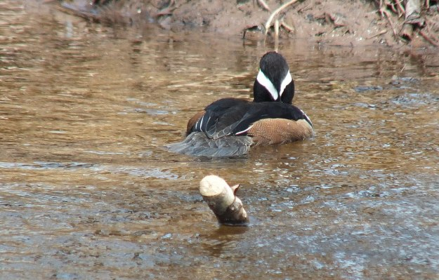Hooded Merganser on grindstone creek in hamilton - ontario 5