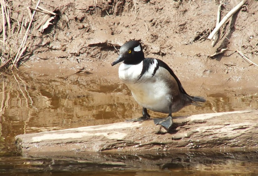 Hooded Merganser on log - grindstone creek - hamilton - ontario 6