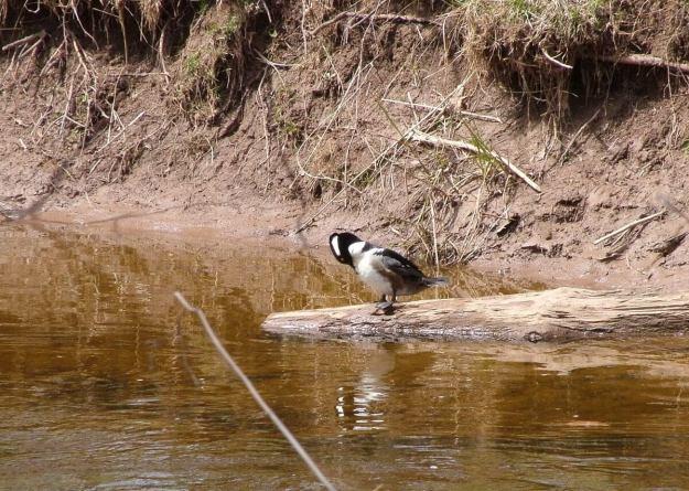 Hooded Merganser on log on grindstone creek - hamilton - ontario 2