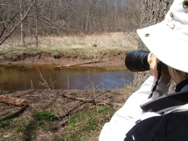 Hooded Merganser on log on grindstone creek - hamilton - ontario 4