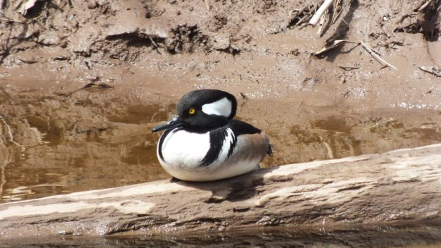 Hooded Merganser on log on grindstone creek - hamilton - ontario 5