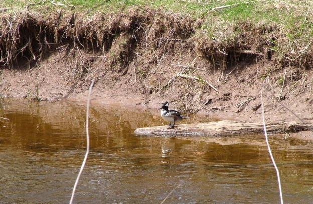 Hooded Merganser on log on grindstone creek - hamilton - ontario