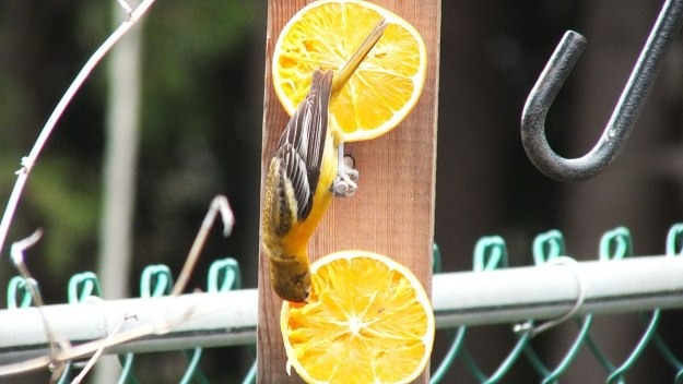 baltimore oriole female - hangs upside down at feeder - toronto