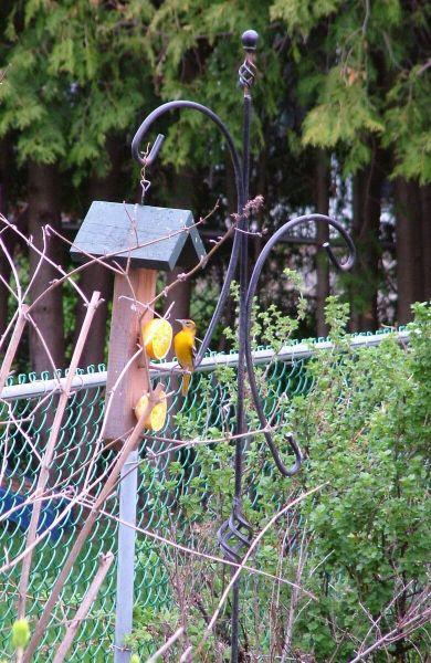 baltimore oriole female - sits on orange feeder - toronto