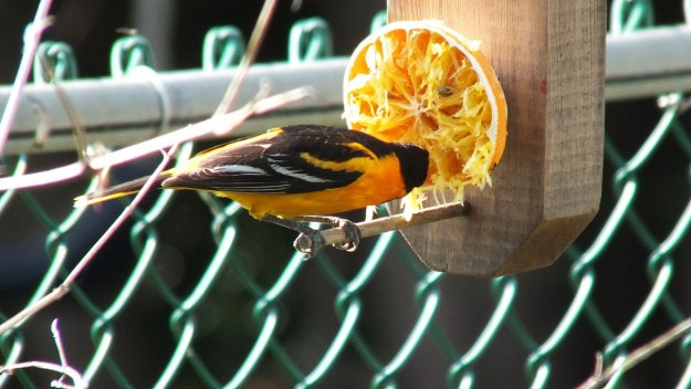baltimore oriole male - eats orange in toronto