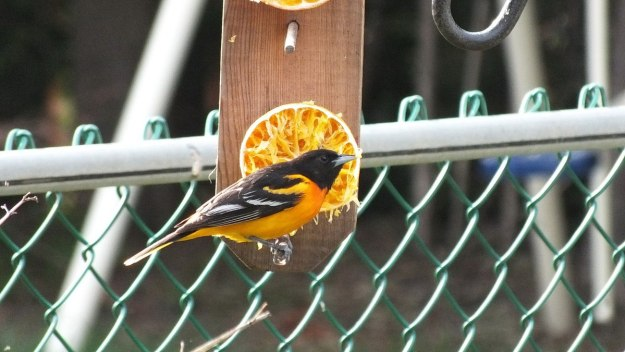 baltimore oriole male - sitting at orange feeder - toronto
