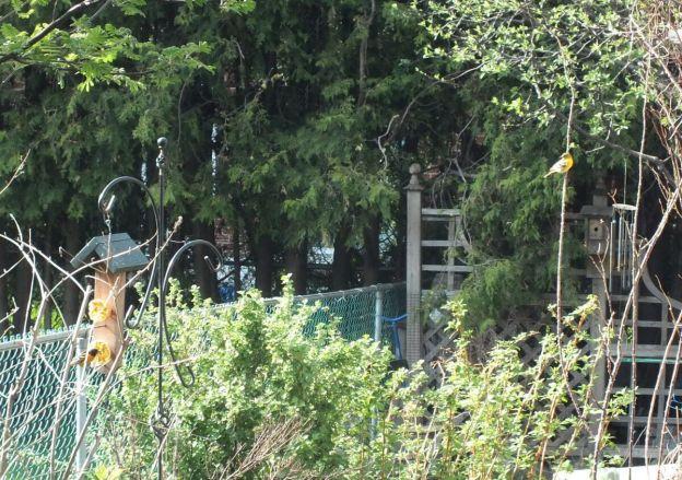 baltimore orioles in backyard - toronto