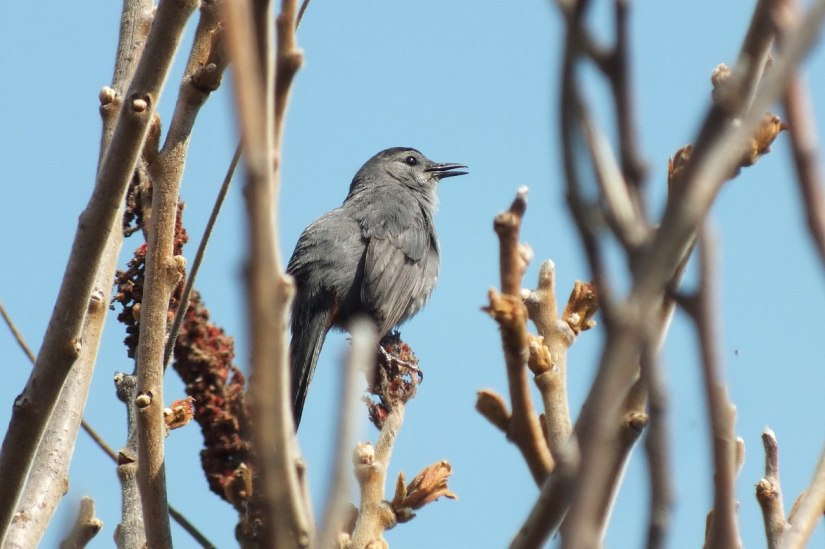 catbird at ashbridges bay park - toronto 3