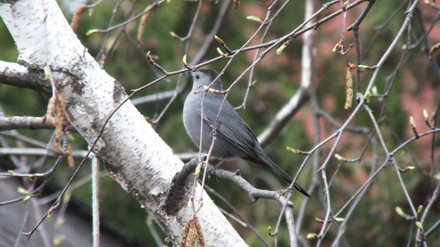 catbird in toronto backyard - ontario