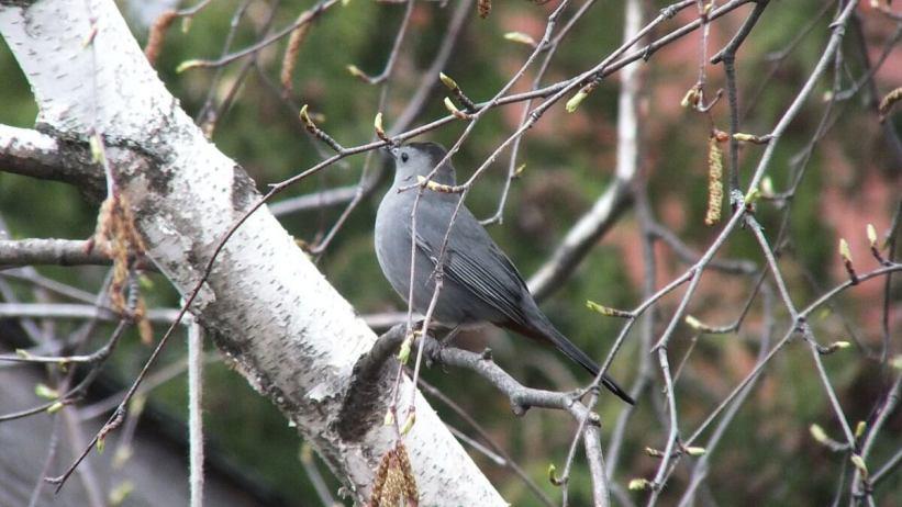 catbird in toronto backyard - ontario
