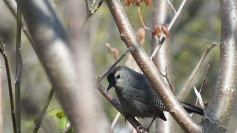 catbird looks to lens at ashbridges bay park - toronto 4