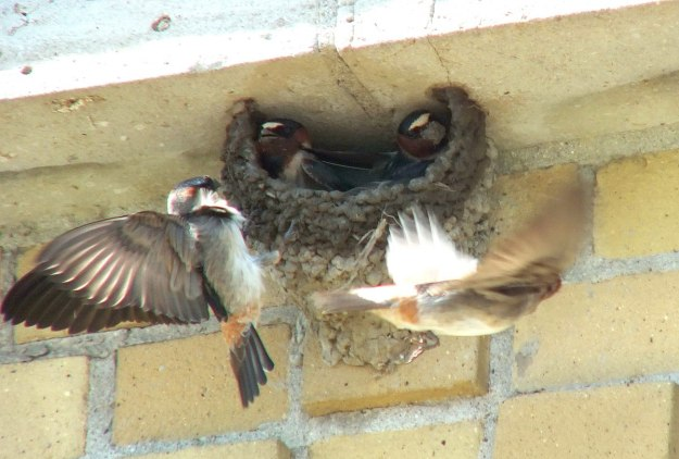 cliff swallow landing at nest - harris water treatment plant - toronto