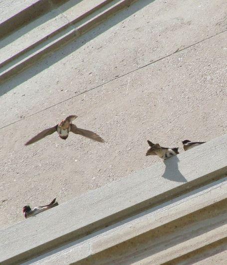 cliff swallow prepares to land on wall - toronto
