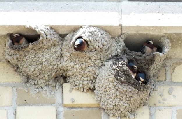 cliff swallows in nests - harris water treatment plant - toronto