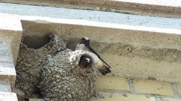 cliff swallows sit together on nests - toronto