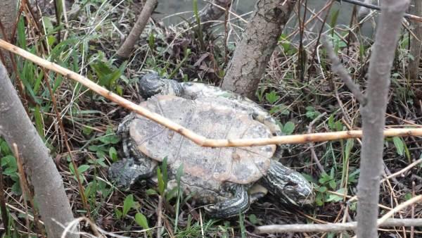 dead turtle along pond_milliken park_toronto_ontario