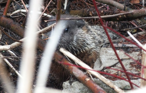groundhog among shrubs in milliken park_toronto_ontario 1