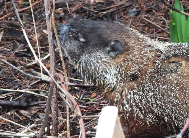 groundhog enjoys smell of plant in milliken park_toronto_ontario