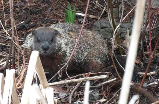 groundhog in milliken park_toronto_ontario 1