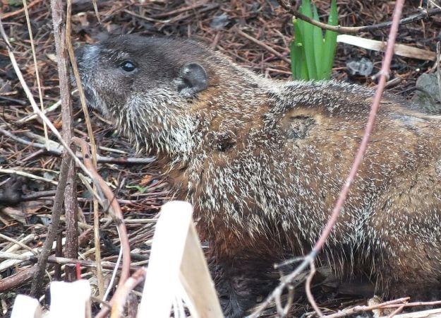 groundhog smells plant in milliken park_toronto_ontario