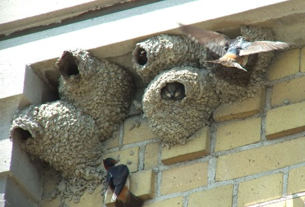 house sparrow inside cliff swallow nest 3