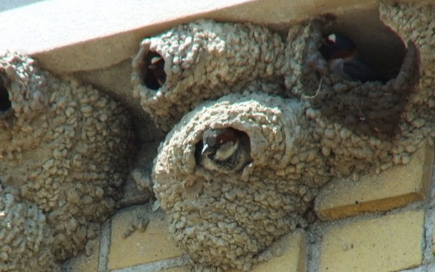 house sparrow sits in cliff swallow nest - toronto