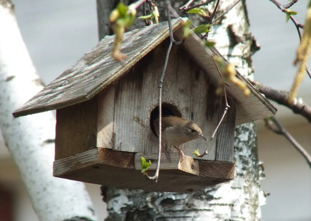 house wren exits birdhouse - toronto
