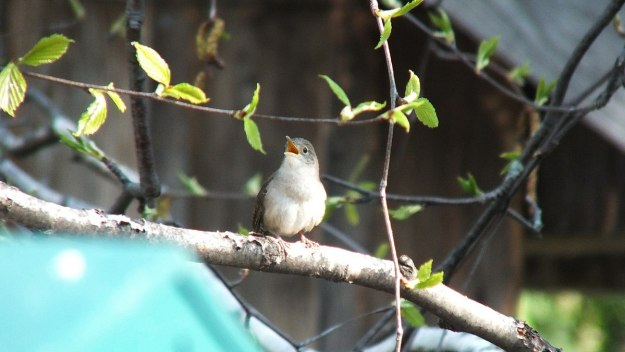 house wren sings in birch tree - 2