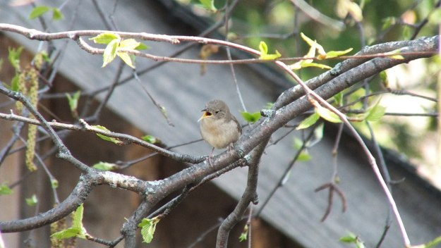 house wren sings in birch tree - toronto