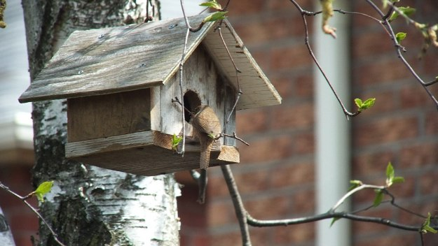 house wren works twig into birdhouse - toronto