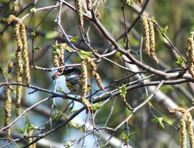 magnolia warbler among birch tree branches - toronto
